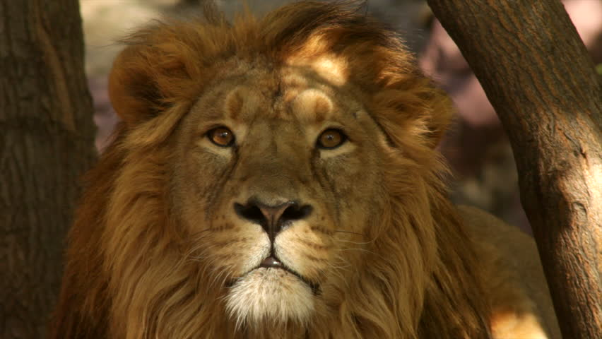 8k Animal Wallpaper Download: Stare Of Adorable Lion With Sun Specks On Face On Tree Trunk Background Close Up. King Of Beasts