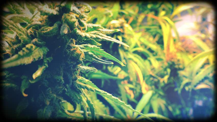 Rack Focus from Marijuana Bud to Indoor Plant with Vintage Film Look