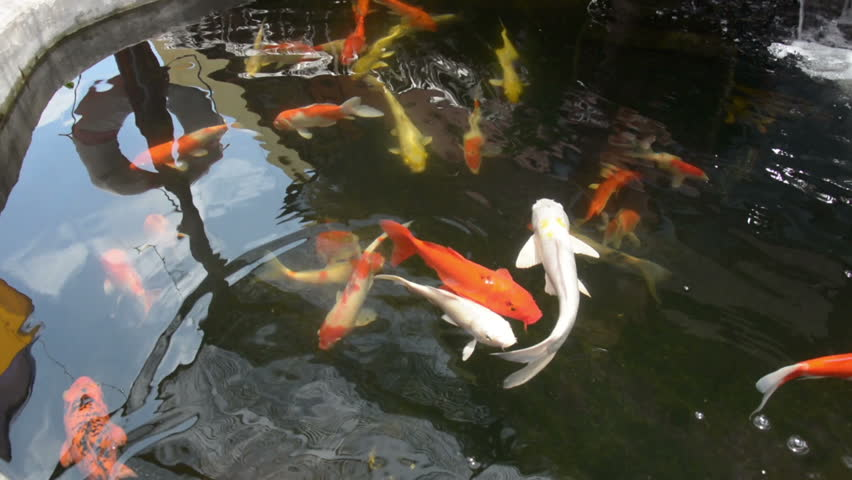 The colorful koi carps swimming happily in the pond water for Koi pond hd
