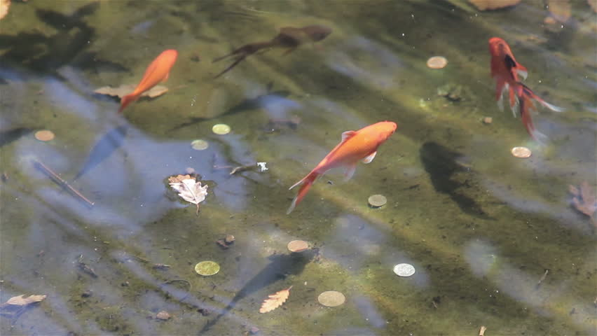 The japanese gardens in toowoomba qld featuring for Koi fish australia