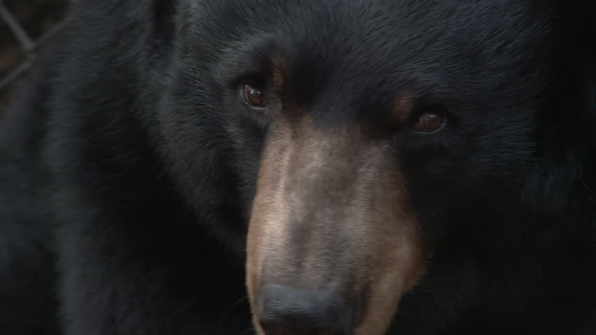 One large, captive black bear close up.