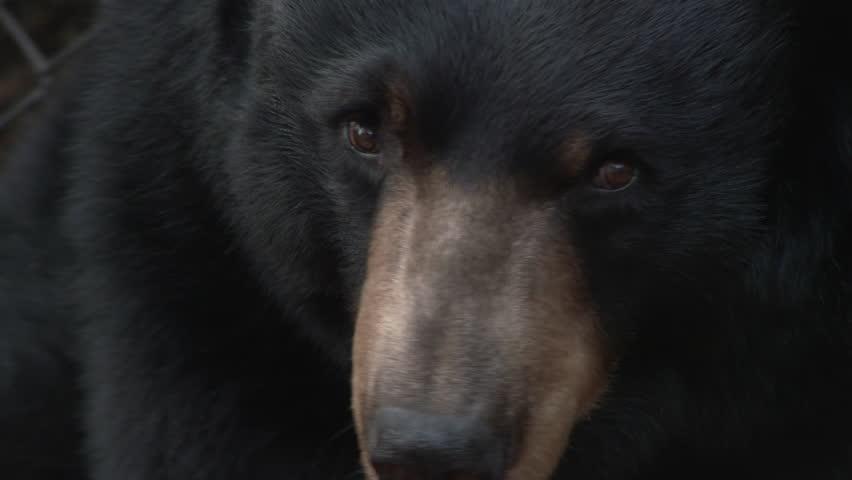 One large, captive black bear close up.