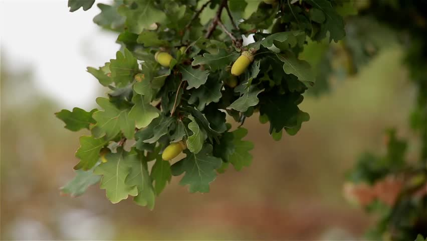 An oak branch with green acorn against the spruce, dynamic change of focus