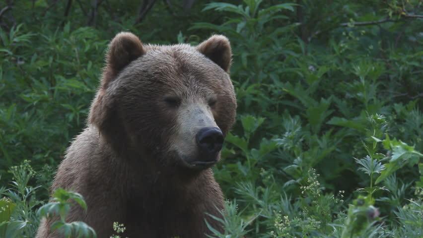 Bear, a portrait
