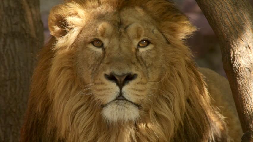 8k Animal Wallpaper Download: Sunshine Specks On Drowsy Face Of Dozing Lion On Tree