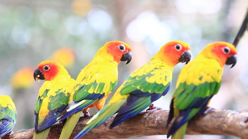Sun Conures in The Wild Sun Conure Parrots