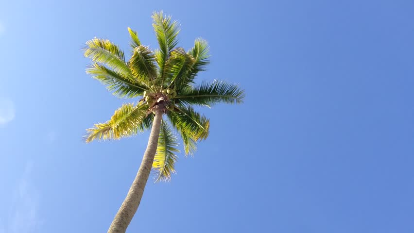 Coconut tree under blue sky with copyspace area, loop