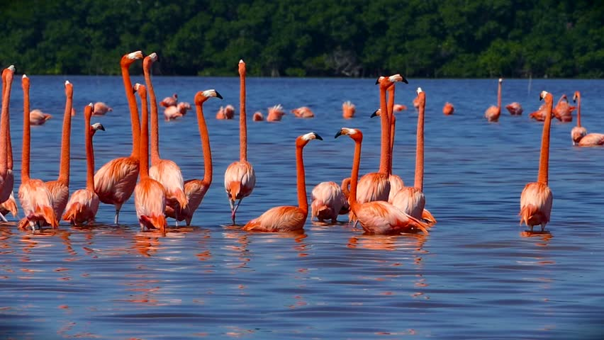 Flock of Pink Flamingos in Celestun, Mexico