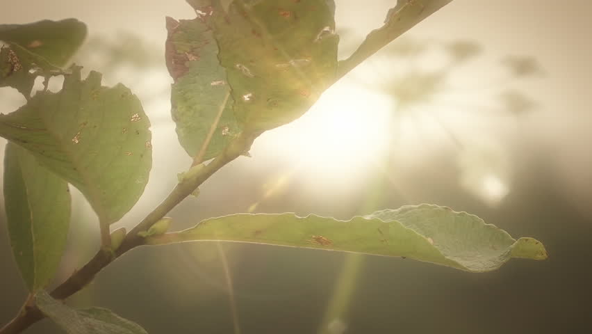 Green plant leaves with a bright Sunlight HD stock Footage. Green leaves close up with a bright low Sunlight peering through the leaves.