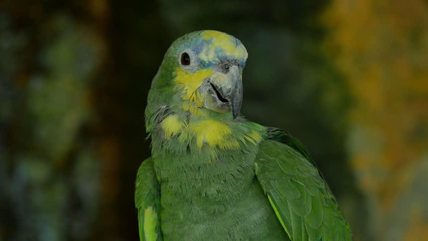 Header of Amazona oratrix