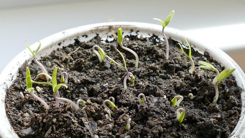 Young seedlings just sprouting tomatoes.
