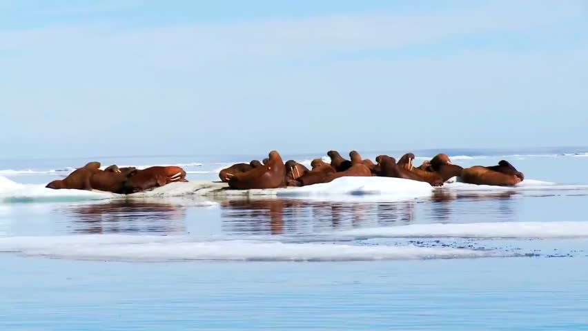CIRCA 2010s - Walrus live in a natural ice habitat in the Arctic.