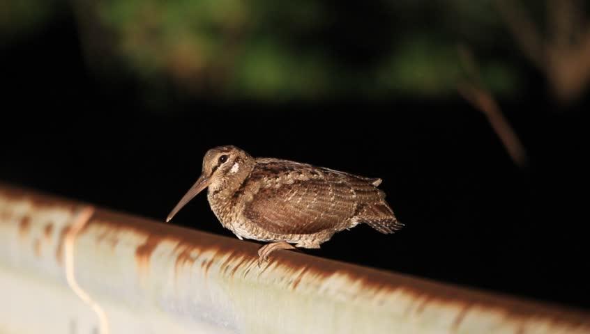 Header of Amami woodcock
