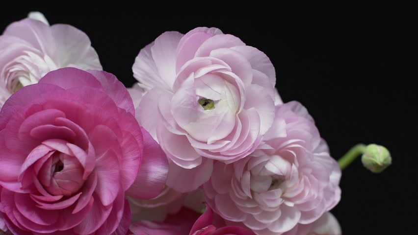 Rack focus on pink Ranunculus flowers - HD stock footage clip