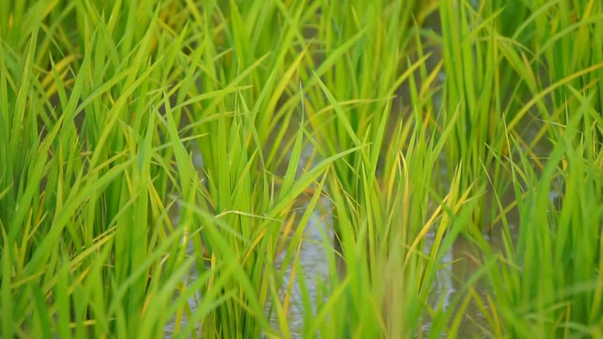 Close View Of Green Paddy Stalks