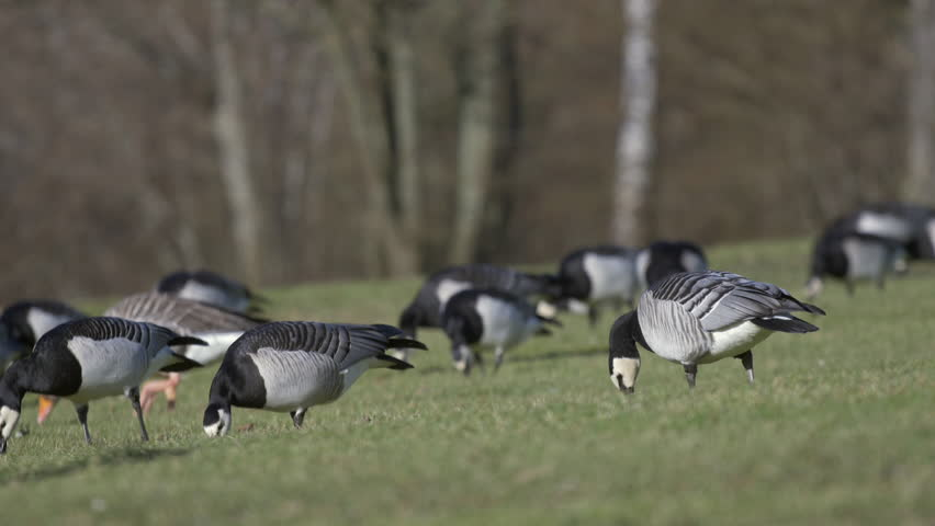 A group of barnacle geese (and a few greylag geese) grazing on green grass in their natural environment. Shot in 4k. Location: Southern Sweden (Lund, Lomma) - 4K stock footage clip
