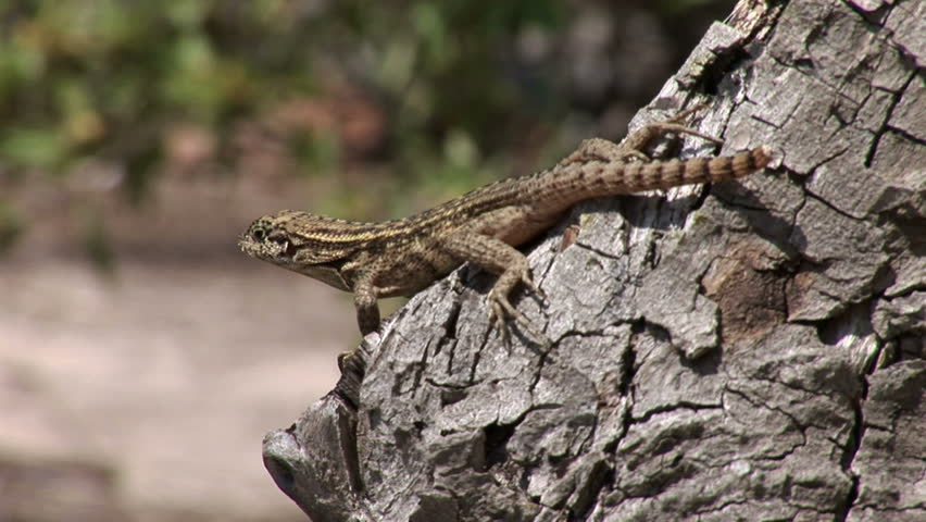 Lizard on a tree in Lucayan National Park on Grand Bahama