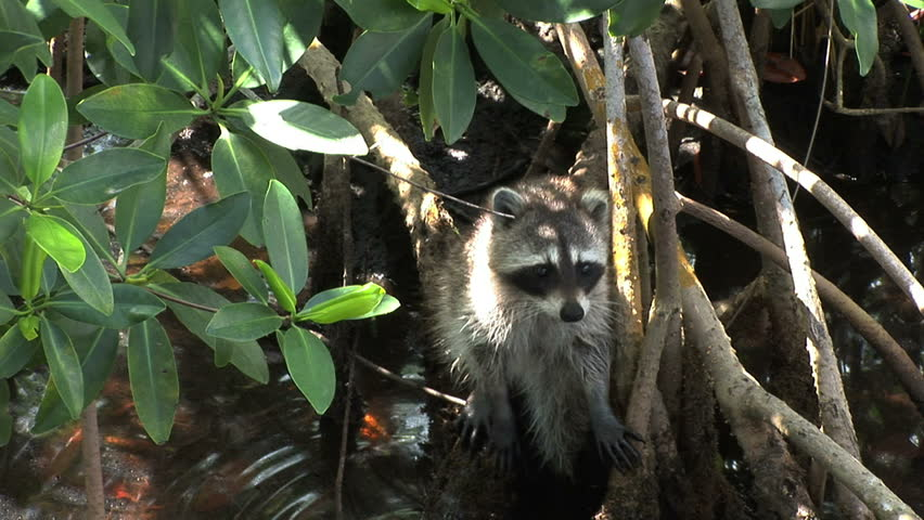 Racoon in Lucayan National Park on Grand Bahama