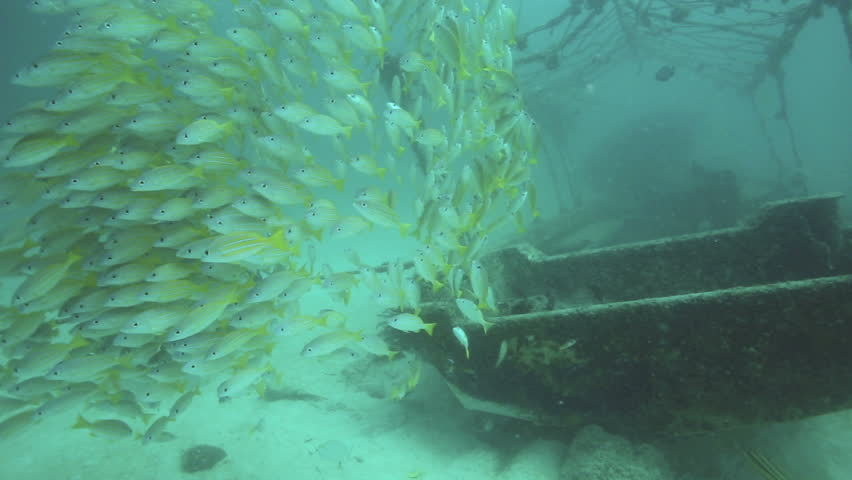 School of bluestripe snapper (Lutjanus kasmira) swimming under artificial reef at Mabul Island, Borneo - HD stock footage clip
