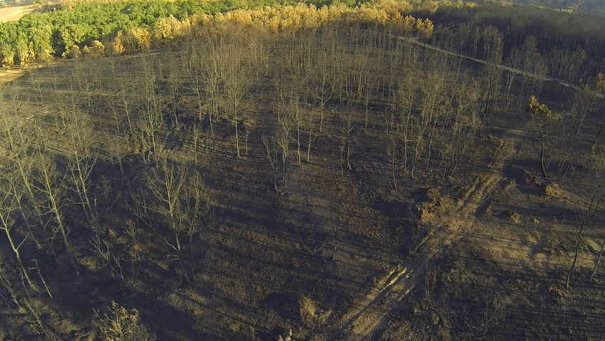 Aerial view of burnt pine and poplar tree forest near tree crowns
