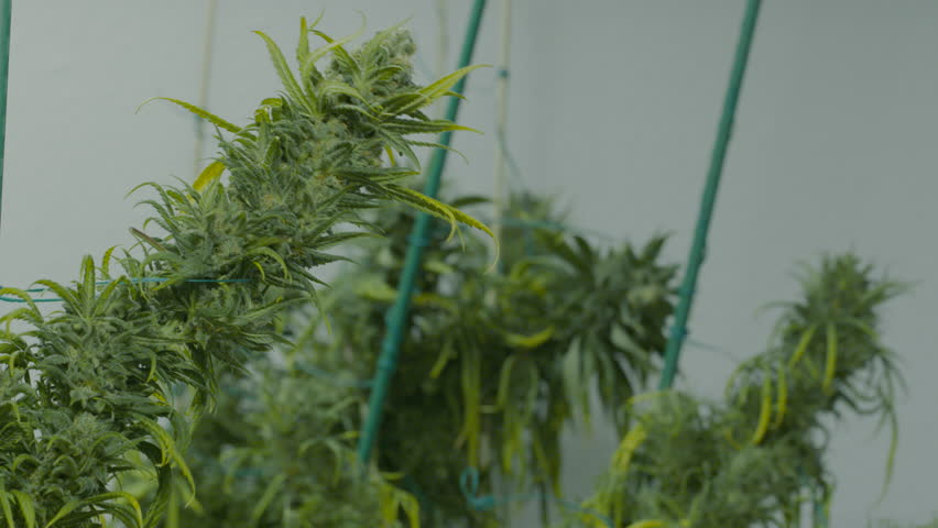 Clipping leaves from marijuana buds
