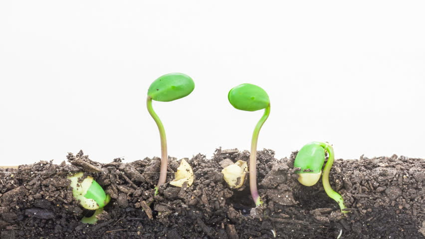Soybean vegetable seeds growing growing from soil, underground and overground view/Soybean seeds growing against a white background