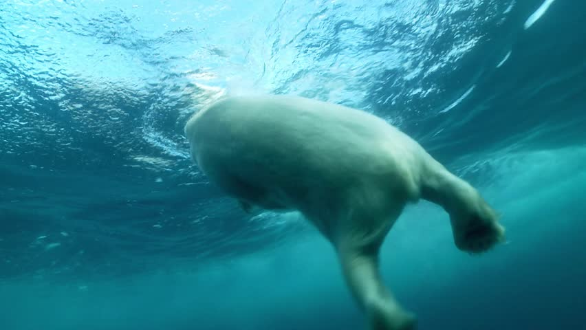 underwater shot of a polar bear swimming
