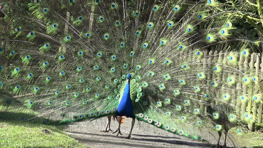 a peacock makes courtship and peacock hens follow him - 4K stock footage clip