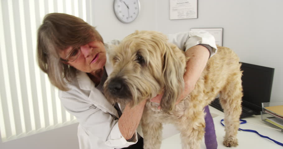 Senior woman vet seeing wheaten terrier - 4K stock footage clip
