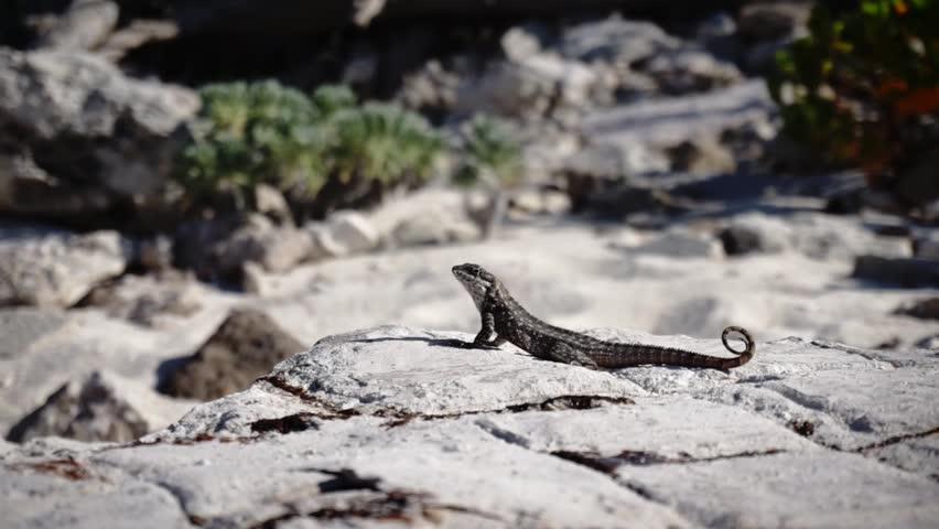 lizard on a rock close up - HD stock footage clip