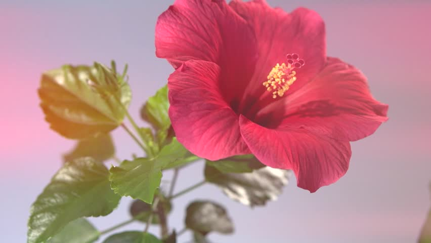 Red Hibiscus Flower Blooming in Time-lapse.  Time lapse. High speed camera shot. Full HD 1080p. Timelapse