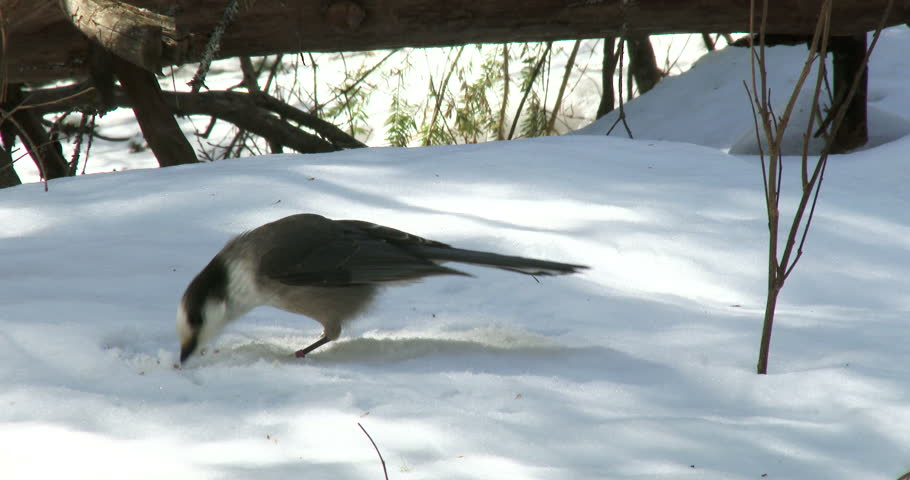 Gray jay eating sunflower seeds on the snow in winter in Algonquin Provincial Park, Ontario, Canada  - 4K stock footage clip