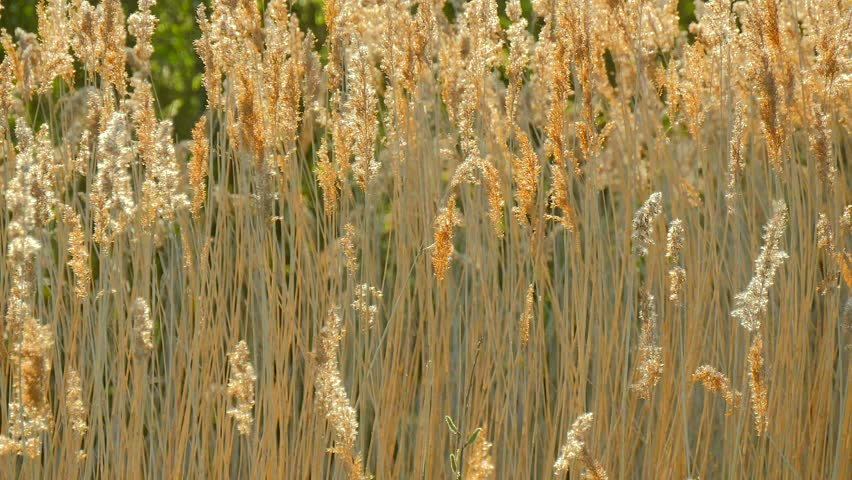 Papyrus Plants Stock Footage Video 2084339 - Shutterstock
