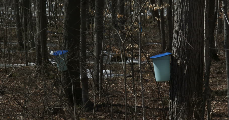 Sugar bush during maple syrup harvest season, with view of the buckets used to collect the sap