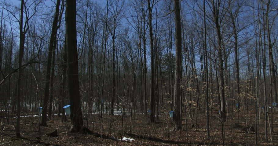 Sugar bush during maple syrup harvest season, with view of the buckets used to collect the sap  - 4K stock footage clip
