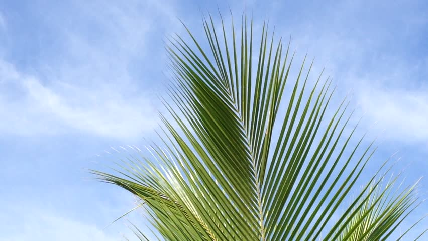 Palm leaf isolated Footage #page 5  Stock Clips