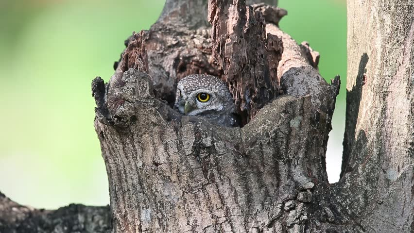 Beautiful Bird, Beautiful Spotted Owlet (Athene brama), in a tree hollow