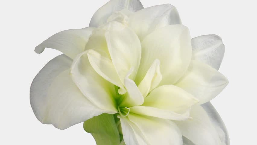 "Time-lapse of opening white ""Alfresco"" amaryllis Christmas flower 1b4 in RGB + ALPHA matte format isolated on white background"