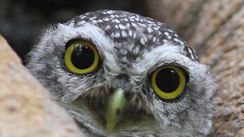 4K. Owl (Spotted owlet) in nature. Video Ultra HD, 4096 x 2304