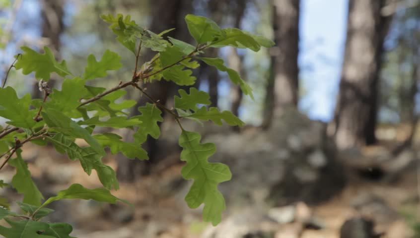 Oak sapling in the forest