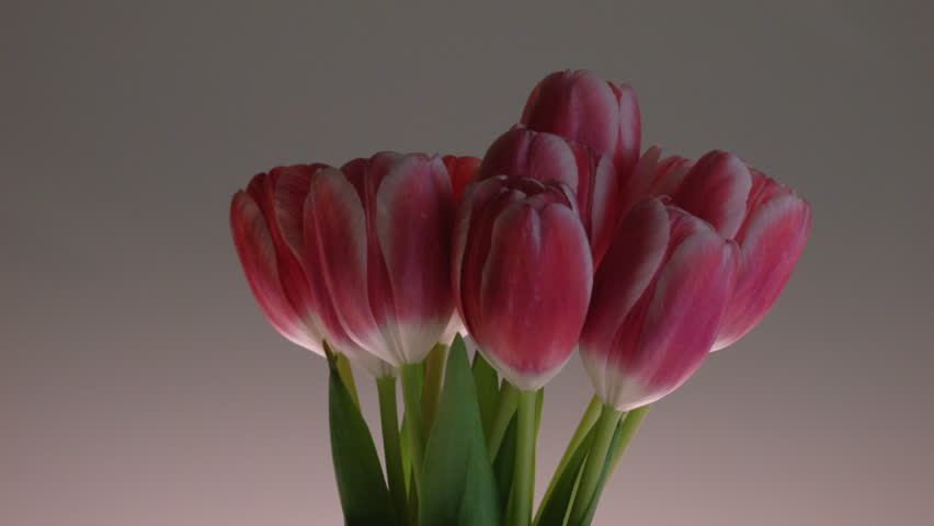 OFFSET CLOSE UP OF RED & PINK TULIPS ROTATING AGAINST A CLEAN BACKGROUND. #9709823