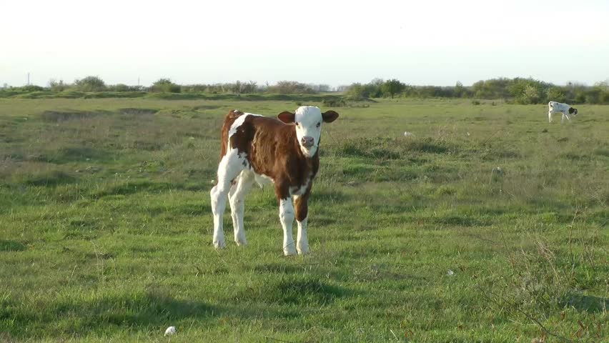 Header of calf
