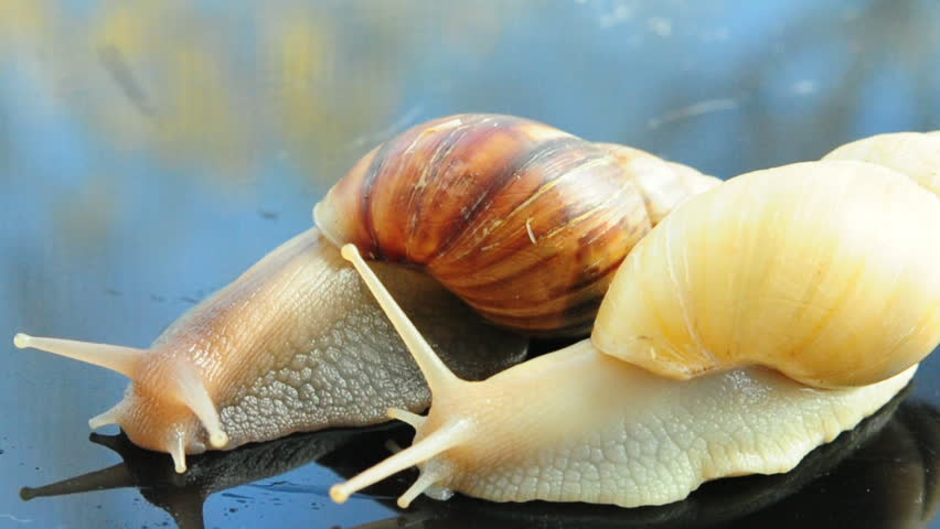 Two Achatina snails - HD stock footage clip