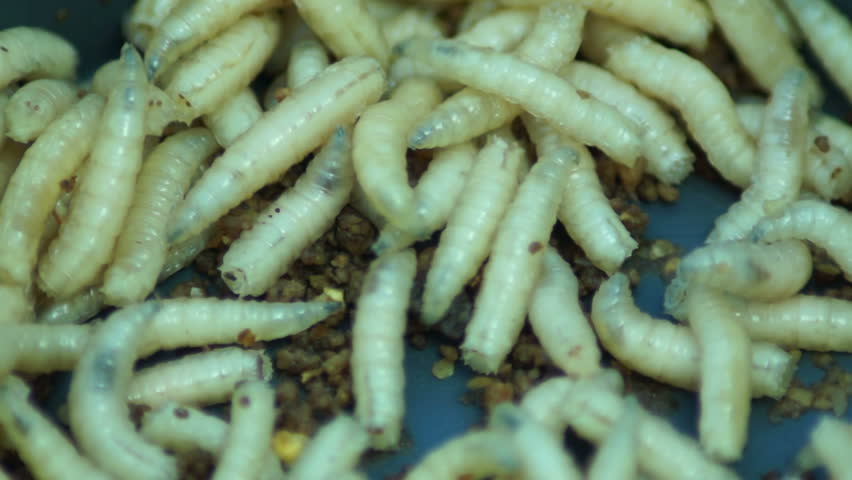 Maggots acheta domesticus fat insect larvae larva of for Mealworms for fishing