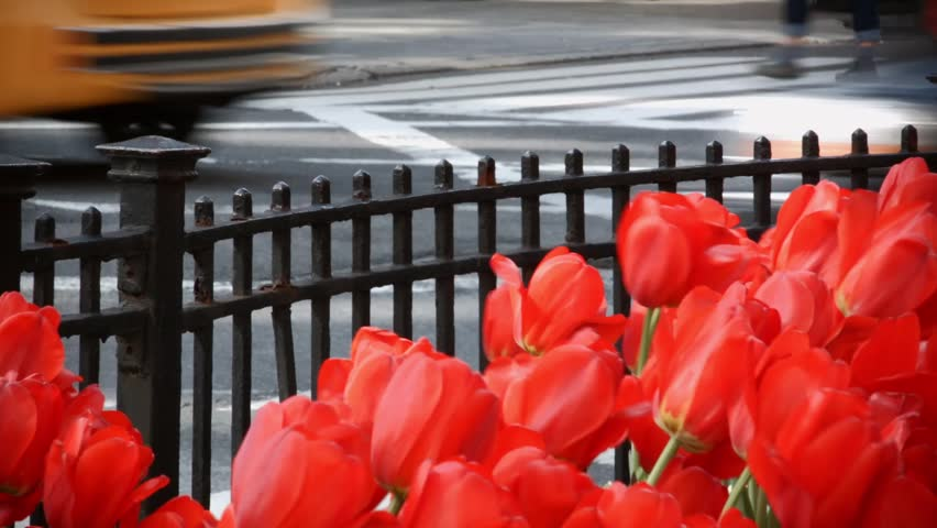 Close up Video of a group of Red Tulip Flowers on Park Avenue New York City with traffic and people walking in Background | Shutterstock HD Video #9857576