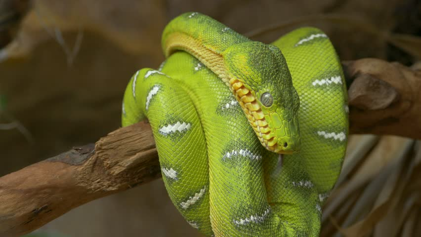 Emerald tree boa (Corallus caninus) coiled around a branch. Native ungraded file, Pana Cine-like D dynamic gamma.
