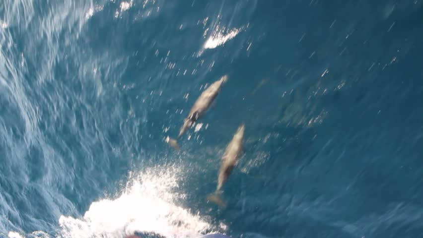 Group of dolphins porpoise shot from a deep sea fishing for Dolphin deep sea fishing