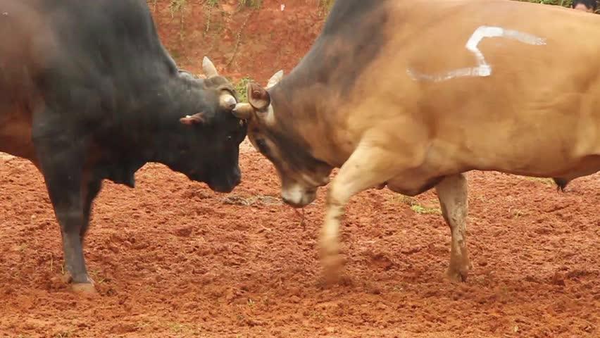 Bull fighting - HD stock video clip
