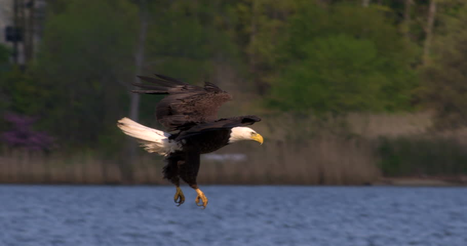 Beautiful shot of Bald eagle swooping down and catching a fish in his talons from the blue water in 240 fps slow motion. | Shutterstock HD Video #9958664