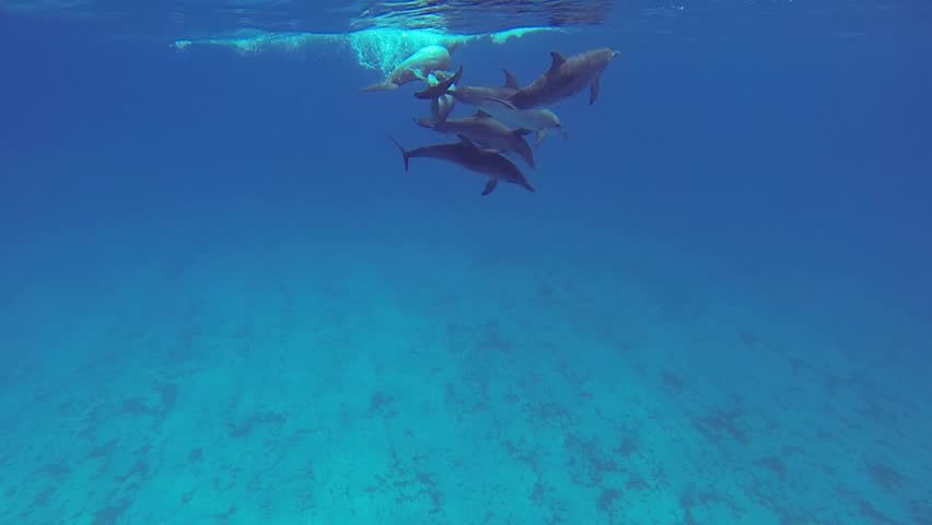 Beautiful full HD footage of Atlantic spotted dolphins (Stenella frontalis) in the Bahama's - HD stock footage clip